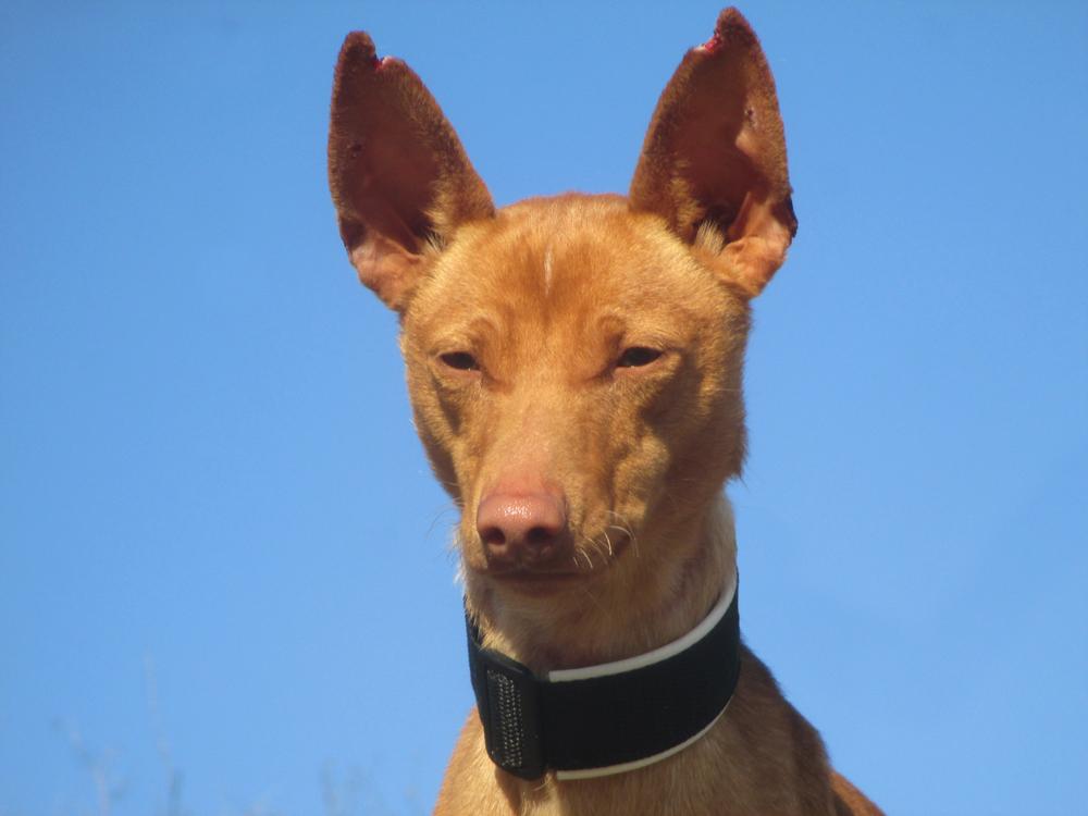 tierheim aixopluc rantamplan 2 jahre podenco andaluz ein sehr freundlicher hund. Black Bedroom Furniture Sets. Home Design Ideas