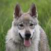 Wolfshunde Hern