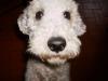 Bedlington Terrier - letzter Beitrag von Rothbury