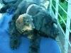 Hund nach Deutschland einführen - letzter Beitrag von raudi
