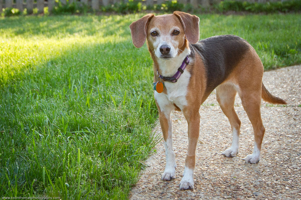 Ceal, the Cutest Beagle/Whippet Mix Ever