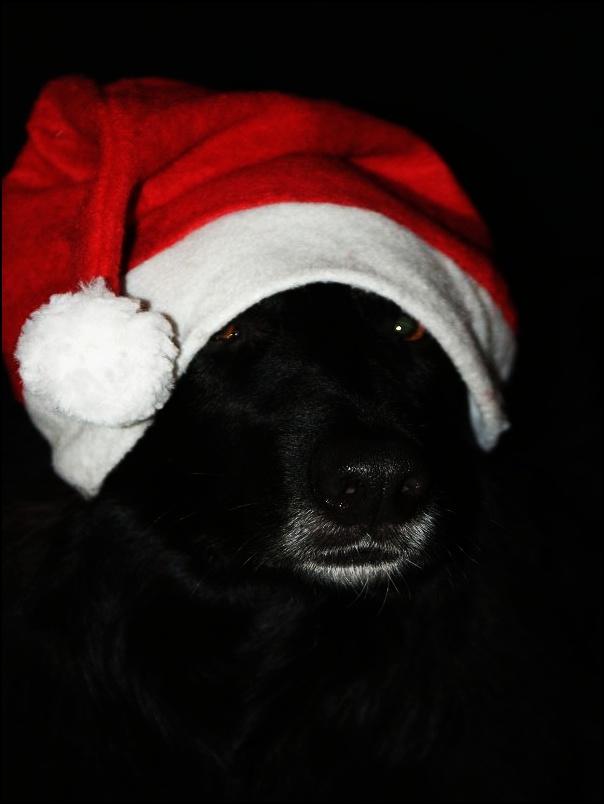 Weihnachtsbilder Und Videos.Weihnachtsbilder Hundefotos Videos Hundeforum