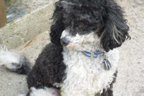 Suche Bilder Von Naturlich Belassenen Pudeln Der Hund