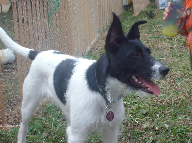 Border CollieJack Russel Mix (Geldern) Der Hund