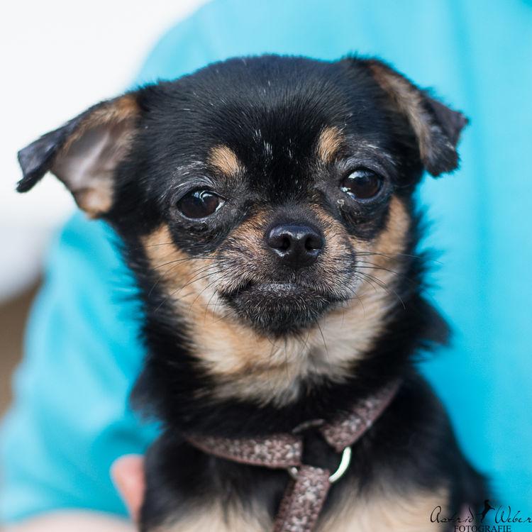 Tierheim Giessen Chihuahuas Und Chihuahua Mixe Suchen Ein Zuhause Happy Ends Verlassene Pfoten De