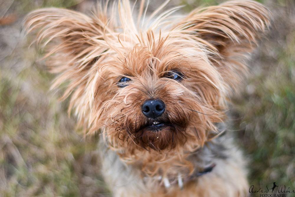 Tierheim Gießen Fienchen Yorkshire Terrier So Lebensfroh Und Süß