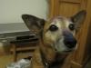 shensihund