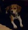 Beagle_Lucky